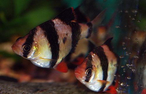 суматранский барбус аквариумных фото рыбок