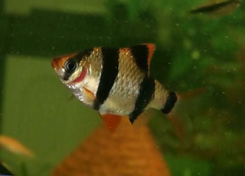 суматранский рыбок барбус фото аквариумных