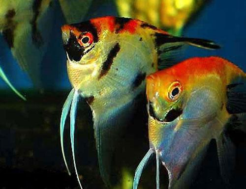 Основные сведения о аквариумных рыбок